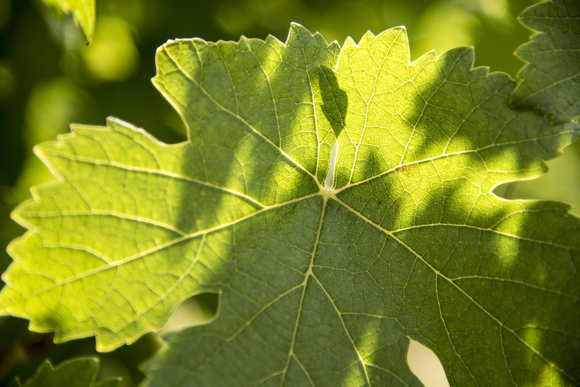 DSC_9793-feuille de vigne